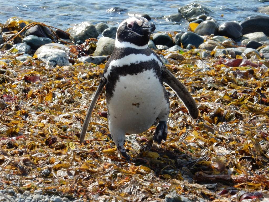 Dove vedere i Pinguini: tour Isla Magdalena [FOTO-REPORT]