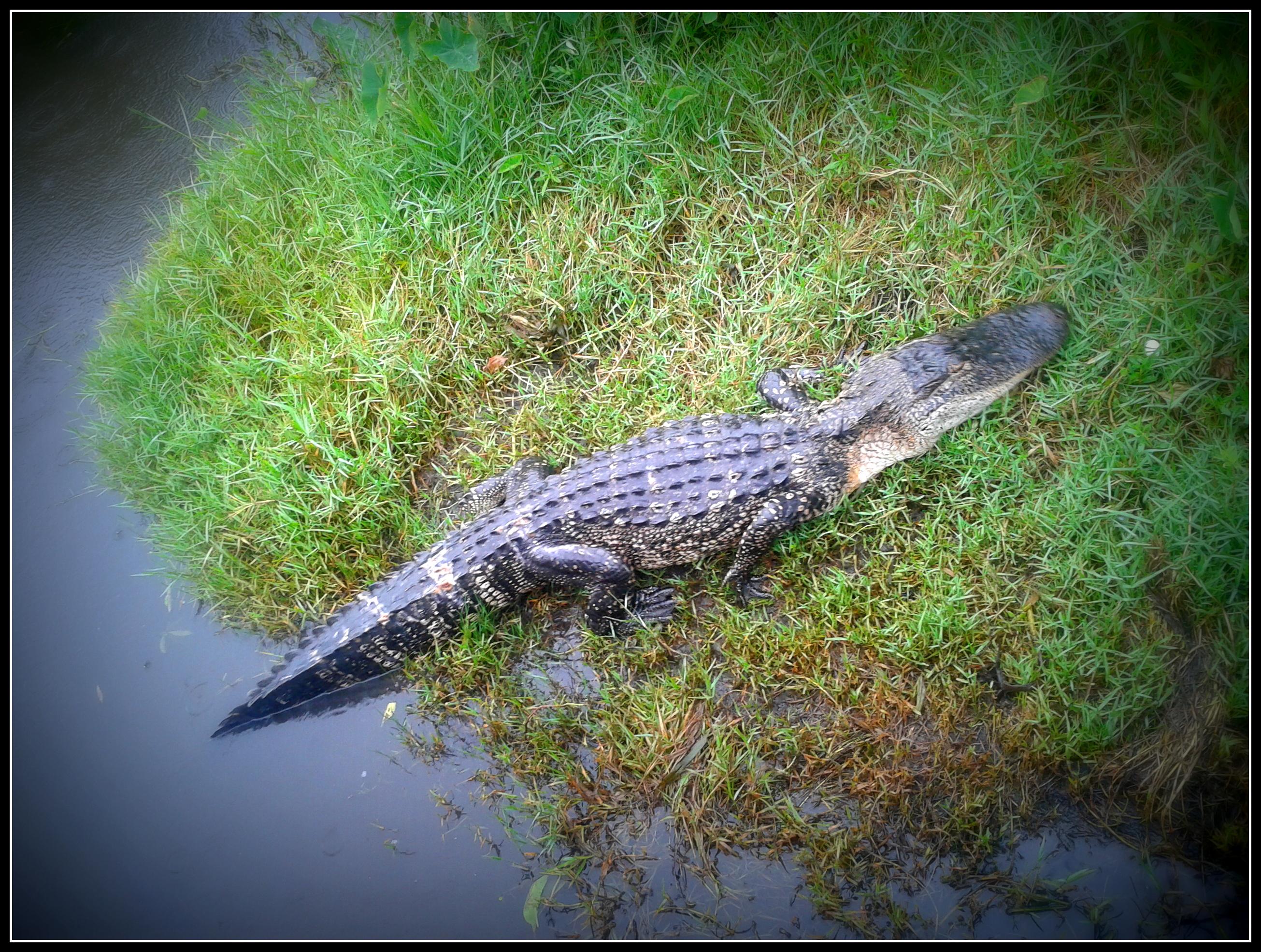 alligatore-swamp-tour-new-orleans